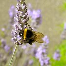 Bumble Bee on Lavender by Michelle Ricketts