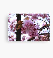 Japanese Flowering Cherry Canvas Print