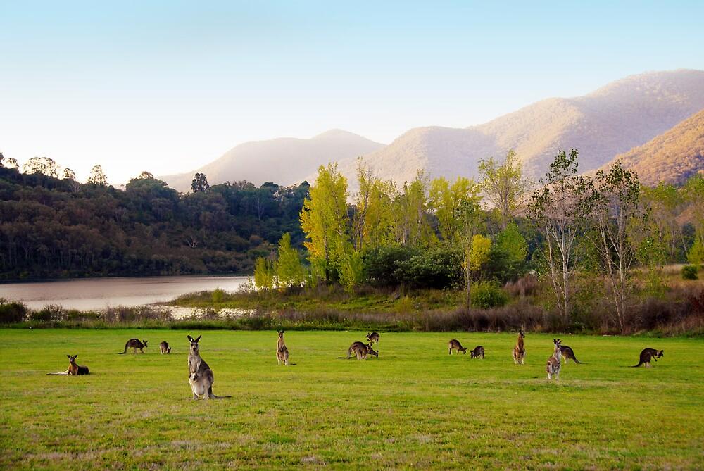 kangaroo's by Glen Johnson