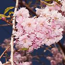 weeping cherry by Penny Fawver
