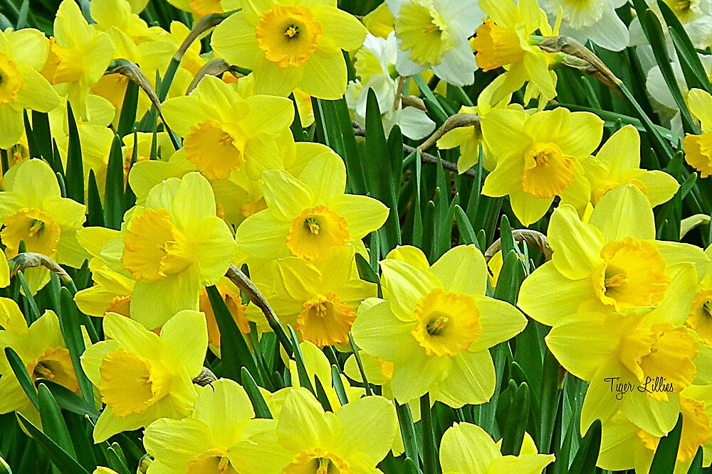 Daffodils.  by Linda Pollock