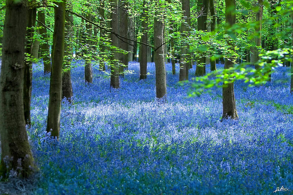 BlueBell by redtree