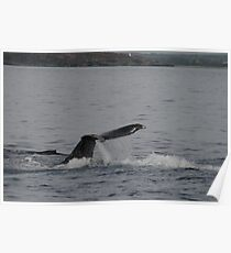 Whales in Hawaii Poster
