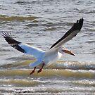 Pelican Takes Flight  by Tori Snow