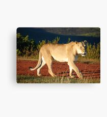 Gondwana Lioness Canvas Print