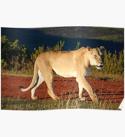 Gondwana Lioness Poster