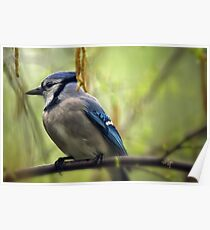 Blue Jay On A Misty Spring Day Poster