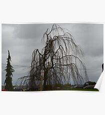 Valley Tree: Skagit Valley, Laconner Washington State Poster