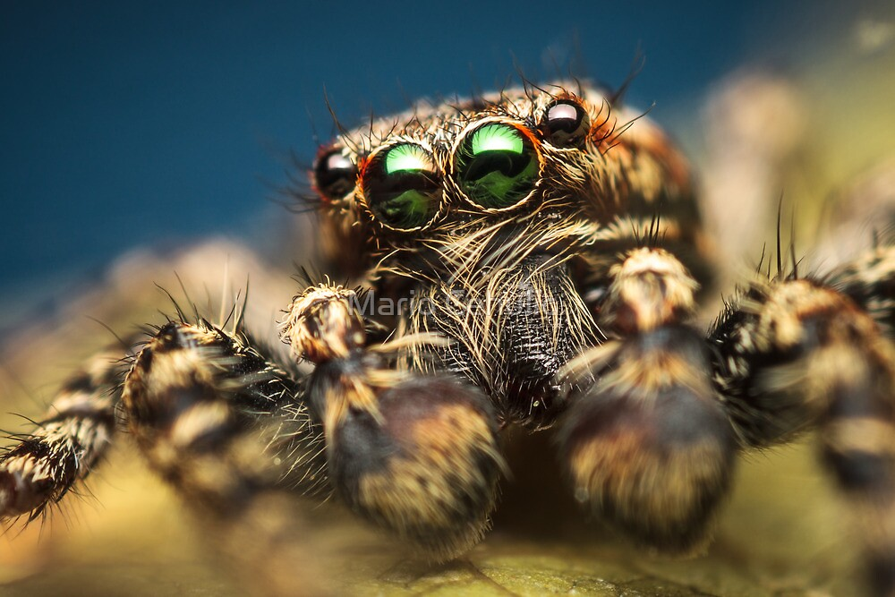 Marpissa muscosa male jumping spider high magnification photo by Mario Cehulic