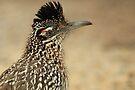 Roadrunner, Meep Meep  by NatureGreeting Cards ©ccwri