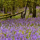 Bluebell Wood Berkshire England by mlphoto