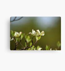 Dogwood Blossoms V Canvas Print