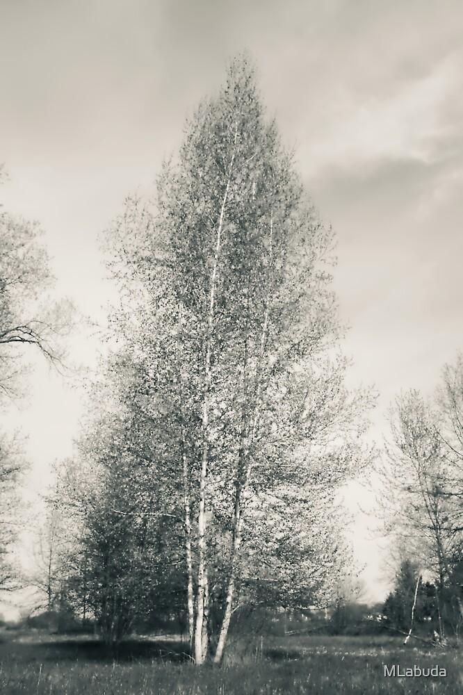 Birch Tree - Lou Campbell State Nature Preserve by MLabuda