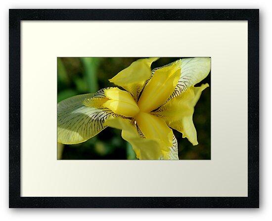 Yellow Iris I by karineverhart