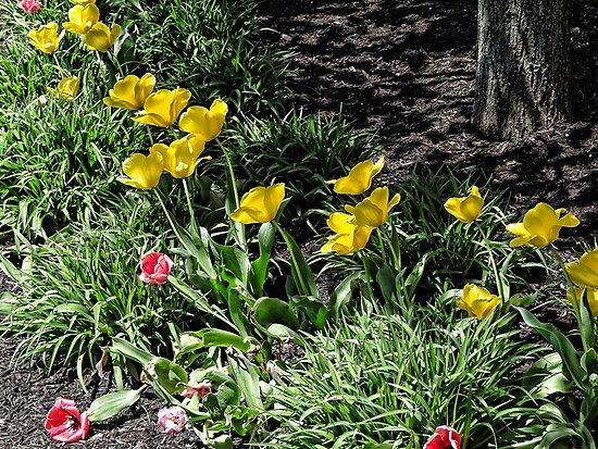 Tulip Garden by vigor