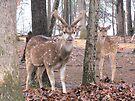 Axis Deer ~  Buck and Doe by Ginny York