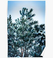 Pine tree with snow Poster