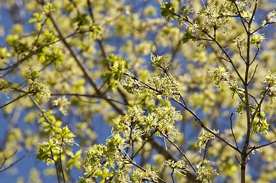 Maple tree blossoms by Carolyn Clark