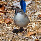 blue wren charmer by Glen Johnson