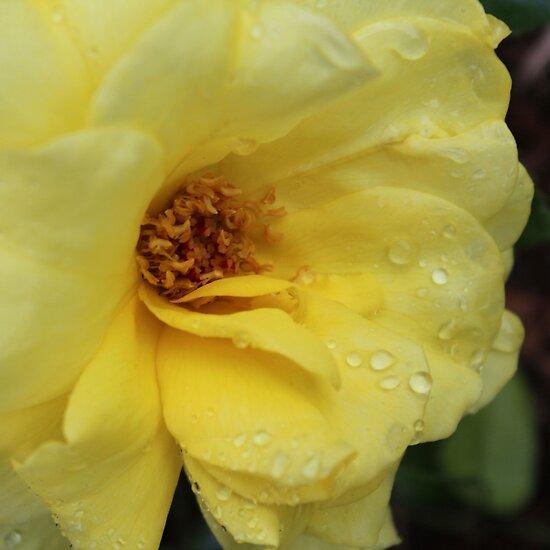Golden Rose by Bob Hardy