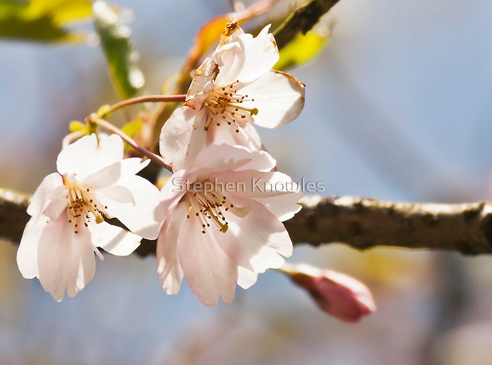 Blossom by Stephen Knowles