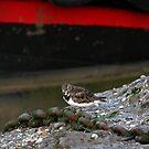 Summer Sanderling by mpstone