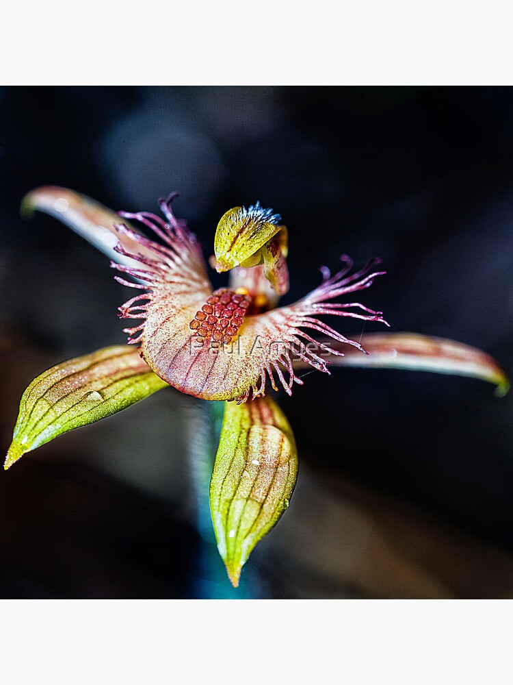 Dancing Spider Orchid by AmyesPhotograph