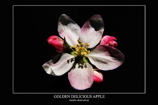 Golden Delicious Apple (malus domestica) Labeled by Alan Harman