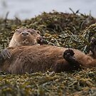 Wild otter relaxing by wildlifephoto