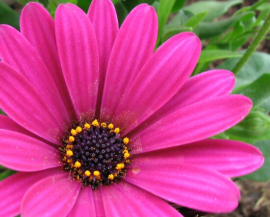 Pretty Pink Petals and Pollen - Cape Daisy Centre by Kathryn Jones
