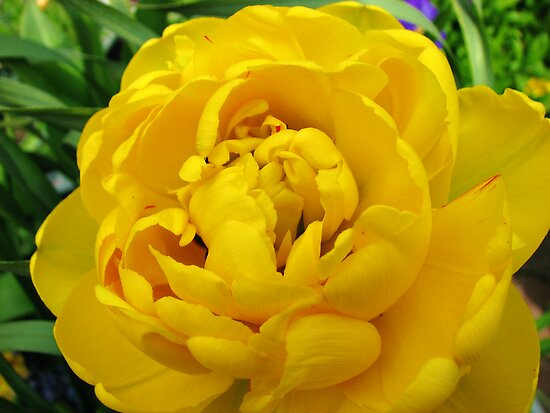Big, Bright and Beautiful - Golden Tulip Macro by MidnightMelody