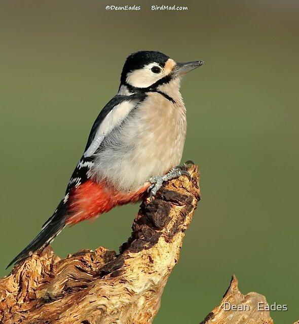 Great spotted woodpecker  by Dean   Eades