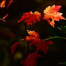 Red Maple in Autumn Sun by Kent Nickell