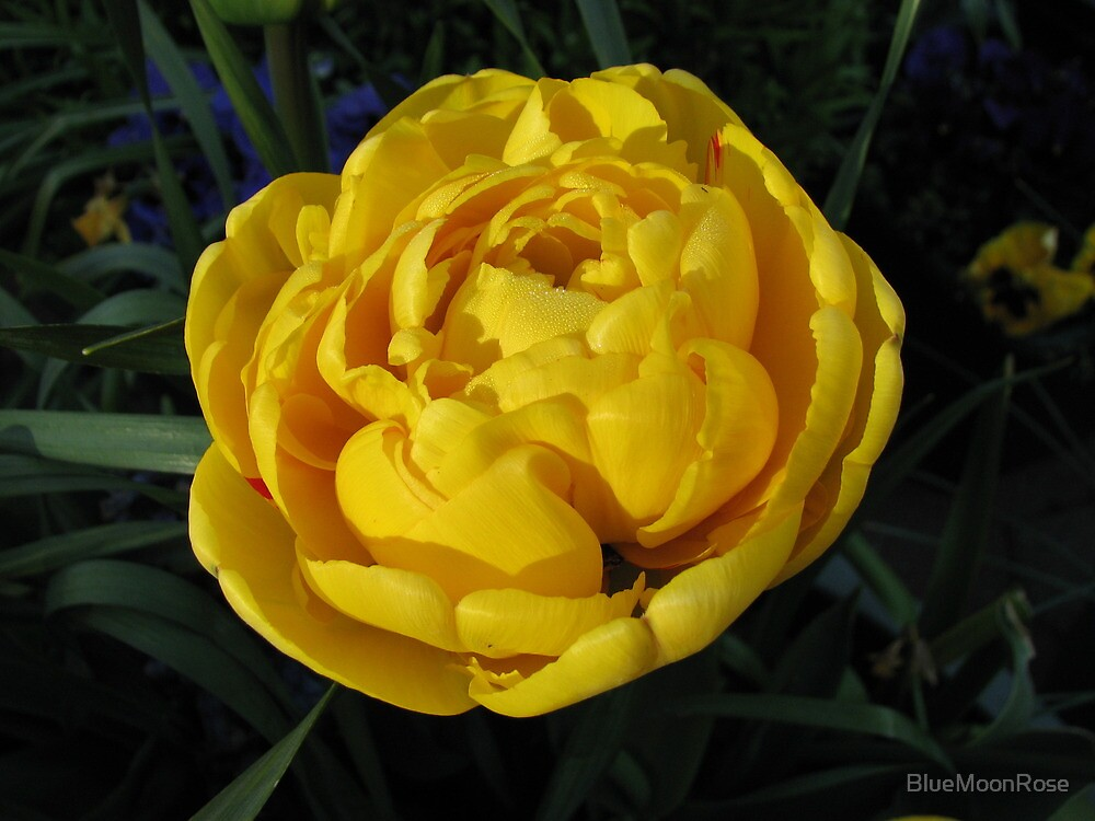 Golden Tulip in the Early Morning Light by BlueMoonRose