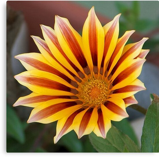 Single Flower Close Up Gazania Red Stripe by taiche