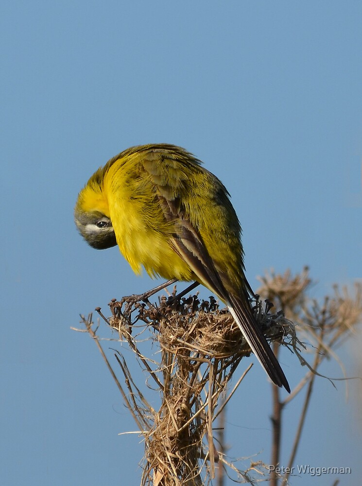 Yellow Wagtail - maintenance by Peter Wiggerman