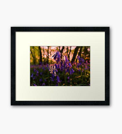Sunset Bluebells Framed Print