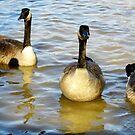 Four Geese by WildestArt