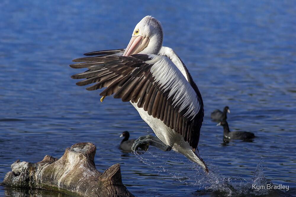 How High ???? Pelican Canberra Australia  by Kym Bradley