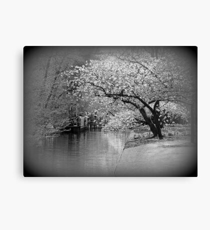 White Flowering Japanese Cherry Tree Canvas Print