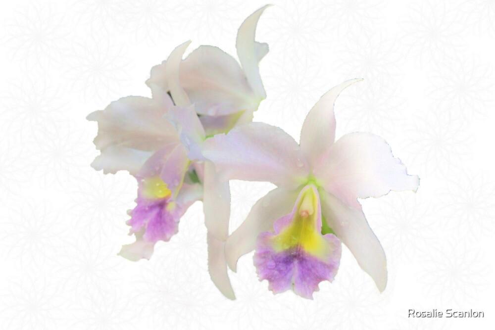 Cattleya Orchids by Rosalie Scanlon