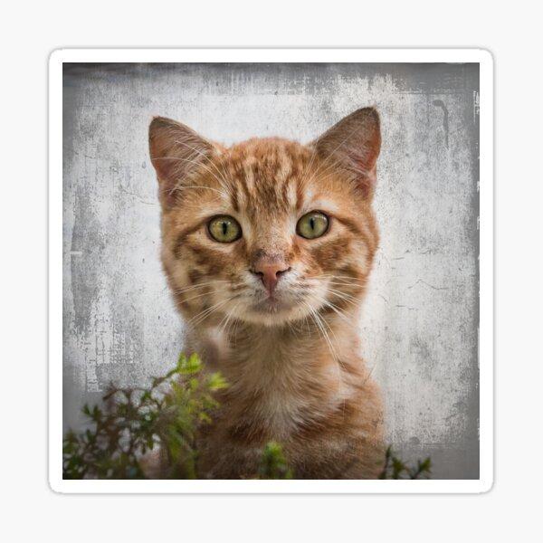 Peek a Boo - Surprised Ginger Cat  Sticker