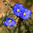 Wild Blue Flax by Arla M. Ruggles