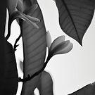 Black and White Frangipani 2 by Emily McAuliffe