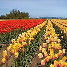Skagit Valley Tulips by Barb White