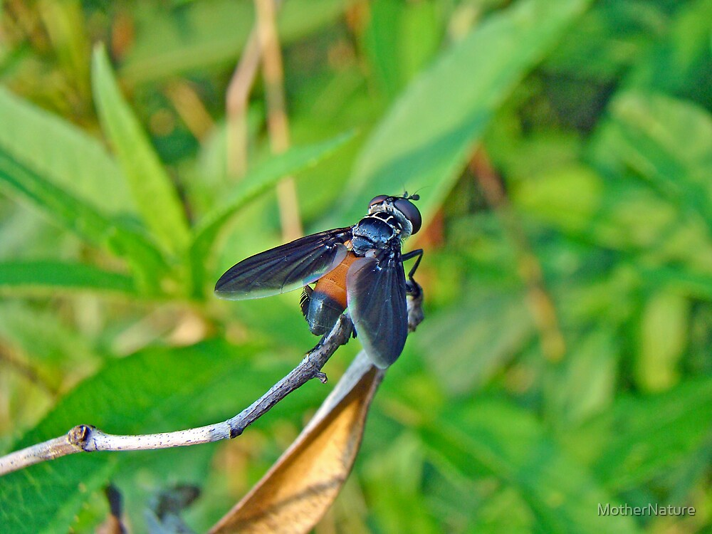 Feather-legged Fly - Trichopoda pennipes by MotherNature