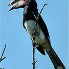 MALE TRUMPETER HORNBILL - Bycanistes bucinater - Gewone boskraai von Magriet Meintjes