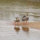 Egyptian Geese by Pauline Adair