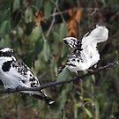 Pied Kingfishers by Pauline Adair