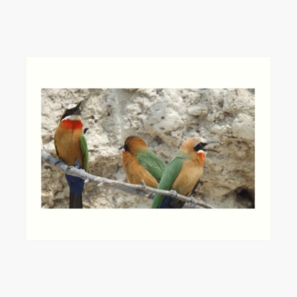White fronted Bee-eaters Art Print
